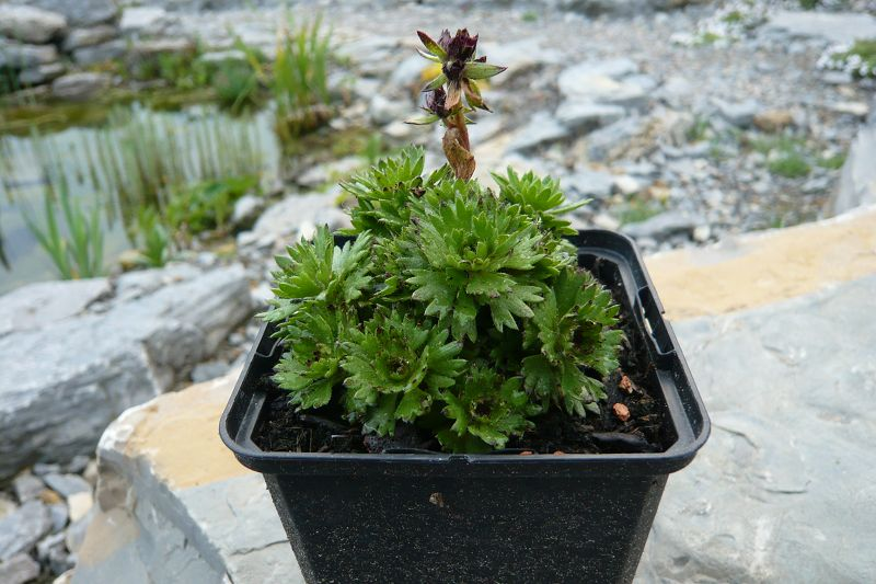 Saxifraga x arendsii 'Harder Zwerg'