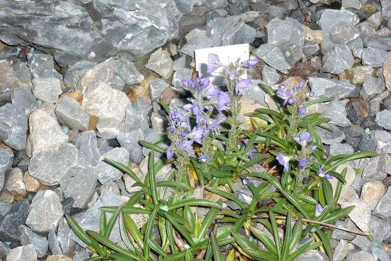 Veronica gentianoides var. glacialis 'Typ N'